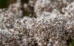 hidden stars (long.fanger) Tags: evening seeds wildflowers