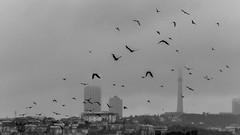 """Ach wie Du ausholst, Vogel"" (Özgür Gürgey) Tags: 169 2019 70300mm bw büyükçekmece d750 nikon rainermariarilke birds diagonal flight fog grainy poem istanbul"