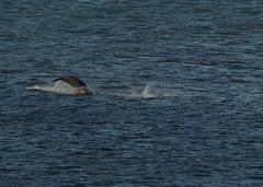 IMG_5431 (monika.carrie) Tags: monikacarrie wildlife scotland aberdeen dolphins dolphin cetacean mammals