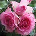 3584 Triangle of roses (Andy - Well busy - again) Tags: flower green leaves petals pink rose triangular trio
