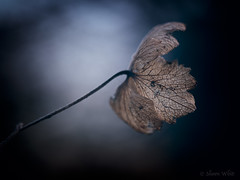 Lone Winter Flower (shawn~white) Tags: 100mm canon6d ef100mmf28macro macro nik aged cold cool dark demure distressed dreamy enchanting filmlook flower glowing hortensia hydrangea melancholy mystical nostalgia solitude vintage weathered winter ©shawnwhite
