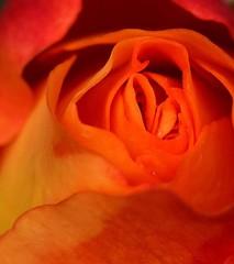 Sammys Rose (lisacartwheels21) Tags: rose orange flower petels beauty