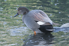 Gadwall (aaabela) Tags: anatidae anseriformes aves california chordata gadwall mareca marecastrepa ranchobernardomarriottpond sandiego bird strepa
