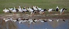 CIGONYES A L'ESTANY DE BANYOLES (Rafel.O.T.) Tags: stork aves cigüeñas bird aus cigonyes
