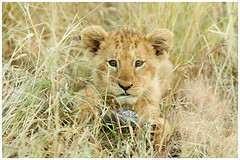 Adorable MG_1949 (1400x933) (David B Olsen) Tags: lion cub cats wildlife nature krugernationalpark jocksafarilodge southafrrica wilderness