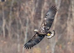 Juvenile Eagle (Vic Zigmont) Tags: eagles bird eagleinflight