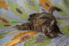 DSC01013 (iocatco) Tags: cat kitten cats sony a7