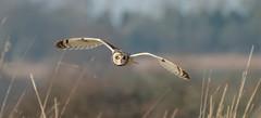 SEO 7 (ossie.g) Tags: short eared owl asio flammeus hunting