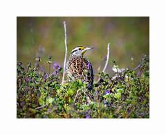 Eastern Meadowlark (George McHenry Photography) Tags: birds lark meadowlark songbird southcarolinabirds southcarolina