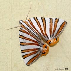 Pityeja histrionaria (LPJC) Tags: mounttotumas nocturnal moth panama 2018 lpjc pityejahistrionaria