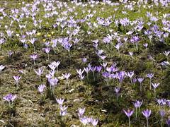 SK_2019-02-24_1410051 (Stephan_66) Tags: blumen blumenwiese flower زهرة krokusse