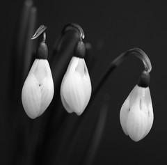 snowdrops (Wackelaugen) Tags: snowdrop schneeglöckchen nature three canon eos photo photography stephan wackelaugen black white bw blackwhite blackandwhite mono noiretblanc schwarz weis schwarzweis flower