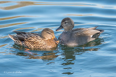 The odd couple 501_7524.jpg (Mobile Lynn) Tags: wildfowl mallard nature birds ducks gadwall anasplatyrhynchos anasstrepera anseriformes bird duck fauna wildlife estuaries freshwater lagoons lakes marshes ponds waterbird waterfowl webbedfeet hurst england unitedkingdom gb
