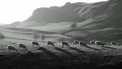 Grazing Sunshine in the Sidlaw Hills (eric robb niven) Tags: ericrobbniven scotland sidlaw hills bw sheep mono landscape