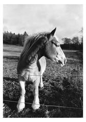 Darkroom Print: Gäddarp, Sverige - gårdshest (LarsHolte) Tags: pentax 645 pentax645 645n 6x45 smcpentaxfa 35mm f35 120 film 120film foma fomapan fomapan200 fomapan200creative 200iso mediumformat analog analogue blackandwhite classicblackwhite bw monochrome filmforever ishootfilm filmphotography xtol homeprocessing larsholte gäddarp sverige sweden farm horse durst l1200 laborator ilford multigrade 500h darkroom print