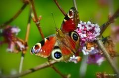 Peacock Butterfly - Buckinghamshire (Alan Woodgate) Tags: peacock butterfly uk buckinghamshire nikon d500 nikkor