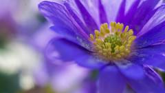 Flowers - Macro (kuhnjulian094) Tags: sonyalpha alpha6000 sonyalpha6000 sony macro meike zwischenringe 60mm sigma60mm sigma blumen flowers bokeh beyondbokeh