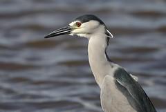 1DX13219 View Large. Black-crowned Night Heron. Keālia Pond, Maui (E.W. Smit Wildlife.) Tags: gitzo gitzotripod g1325mk2 gitzog1325mk2 gitzog1325mk2tripod wimberley wimberleygimbalheadwh200 wimberleygimbalhead wimberleywh200 gimbalhead ef500mmf4lisii ef500mmf4lisiiusm canonef500mmf4lisiiusm wildanimals tourist tourists telephotolens tripod unitedstatesofamerica usa outdoors outdoor supertelephotolens island bird birds ocean pacificocean animal avian animals wildanimal hawaii mauihawaii maui mauimarriottsoceanclub canon nature wildlife blackcrownednightheron heron kaanapali kaanapalimaui rookery canoneos1dx 1dx canon1dx canonef500mmf4lisii canonef14xextenderiii canonef14xiii eos1dx park parks canonef500mmf4lisiiusm14xiii canonef500mmf4lisii14xiii ef500mmf4lisii14xiii ef500mmf4lisiiusm14xiiikeāliapond keāliapondnationalwildliferefuge pond aquaticbird kiheimauihawaii kiheimaui lake 14xiii canonef14xextenderii