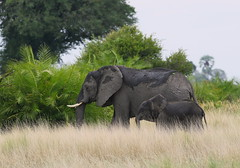 "African Elephant ""Staying Close to Mom"" (girlslens) Tags: africanelephant elephant"