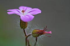 Blume (joachim.kracher) Tags: blume flower macro blüte outdoor pflanze steiermark österreich austria styria fürstenfeld plant 90mm apsc natur bokeh a6400 sony