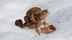 Huckepack durch den Schnee (climb6a) Tags: erdkröte bufobufo kröte toad