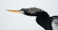 Anhinga Eye On Cloudy Sky! (GlensLens!) Tags: anhinga lachuawetland breedingplumage