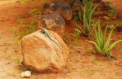 Agama agama (igor29768) Tags: agama lizard tasvo kenya africa panasonic lumix gx7 425mm