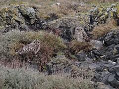 IMG_0644 (fields john) Tags: short eared owl dublin ireland january winter