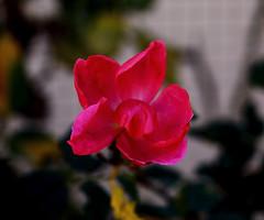 La Otra Bella del Jardin.- (angelalonso4) Tags: canon eos 6d tamron sp 90mm f28 di vc usd macro11 f004 ƒ28 900 mm 1160 100 flor flower flowers nature natura explore explorar rojo red encuadre vida