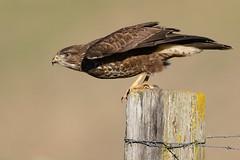 Buzzard Jan 2019 (c) (jgsnow) Tags: bird raptor buzzard takeoff