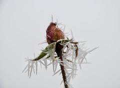 Rose im Winterzauber / Rose in the winter magic (fotio14) Tags: rose makro winter garten frost raureif