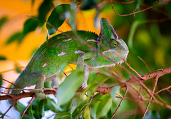 chameleon on a branch (Danyel B. Photography) Tags: reptile amphibian animal nature wildlife sea water wet chameleon branch