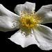 Cynorrhodon  fleur