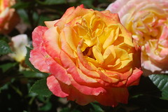 Von all den längstvertrauten Bildern (amras_de) Tags: rose rosen ruža rosa ruže rozo roos arrosa ruusut rós rózsa rože rozes rozen roser róza trandafir vrtnica rossläktet gül blüte blume flor cvijet kvet blomst flower floro õis lore kukka fleur bláth virág blóm fiore flos žiedas zieds bloem blome kwiat floare ciuri flouer cvet blomma çiçek