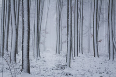 The snow and the trees (Petr Sýkora) Tags: les sníh zima nature forest snow winter poetic czech