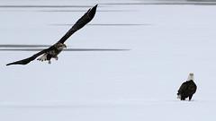 American Bald Eagle (Bill G Moore) Tags: naturephotography birdofprey americanbaldeagle raptor wild wildlife canon colorado winter snow ice juvenile