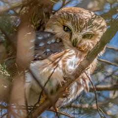 Saw-Whet owl #4 (Kevin E Fox) Tags: sawwhetowl owl raptor aegoliusacadicus bird birding birdwatching birds birdofprey sigma150600sport sigma nature nikond500 nikon newbritain pennsylvania
