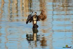 A-LUR_3820 (OrNeSsInA) Tags: aly passignano panicale natura panorami campagma campagna landescape trasimeno nikon canon airone airon cormorano spettacolo birdwatching albero cielo animale mare acqua uccello