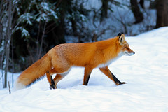 Red Fox Hunting (AlaskaFreezeFrame) Tags: fox redfox vixen cute nature wildlife outdoors canon telephoto alaska alaskafreezeframe animals mammals carnivore predator zorro sly snow frost winter beautiful gorgeous posing closeup portrait anchorage magnificent spruce patterns 70200mm coth5