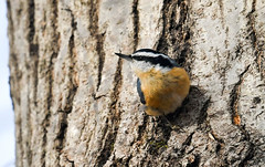 Red-breasted Nuthatch (Sitta canadensis) (Kremlken) Tags: nuthatches forestcounty pennsylvania eruption winter birds birding birdwatching nikon500