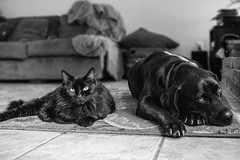 Friends (grexsysllc) Tags: besties friends friendship cats dogs catsanddogs monochrome blackandwhite blackandwhitephotography blackwhite nikon nikonphotography d750 livetogether togetherness relax relaxation portrait portraits animalportraits
