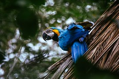 Blue and yellow Macaw (proyectoasis) Tags: