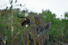 OPEN to see the action! (MyKeyC) Tags: bluecypress lake blue osprey stick