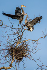 2019.03.10.0287 Territorial Dispute (Brunswick Forge) Tags: 2019 virginia grouped greatblueheron gbh bird birds animal animals animalportraits outdoor outdoors air sky nikond750 nikkor200500mm winter wildlife nature alleghenycounty fx favorited commented