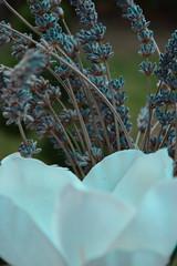 Dead flowers for her (anast_efthimiadou) Tags: flowers closeup blue lavender cloudy focus upclose green greece nikon d5300 kit lens lightroom cc blossom spring