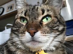 Tigger Enforces Her Requirements 1 (sjrankin) Tags: 14march2019 edited animal cat closeup livingroom kitahiroshima hokkaido japan table tigger