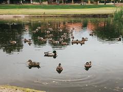 P1022393 (Claussm) Tags: vsco arizona az bird gh5 lumix duck mallard