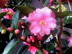 #Kamelie #PINK (RenateEurope) Tags: 2018 renateeurope iphoneography frühling spring primavera nature flowers flora kamelie pink awesomeblossoms