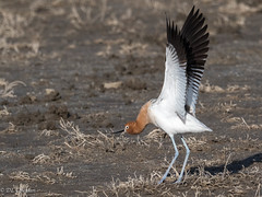 Stretch before takeoff (Chub G's M&D) Tags: shorebird avian birding gloverspond aves avocet birds recurvirostraamericana farmingtonbaywma americanavocet utah birdphotography daviscounty