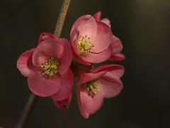 Vive le printemps ! **--- ° (Titole) Tags: pink flowers nicolefaton titole unanimouswinner thechallengefactory perpetualchallenge